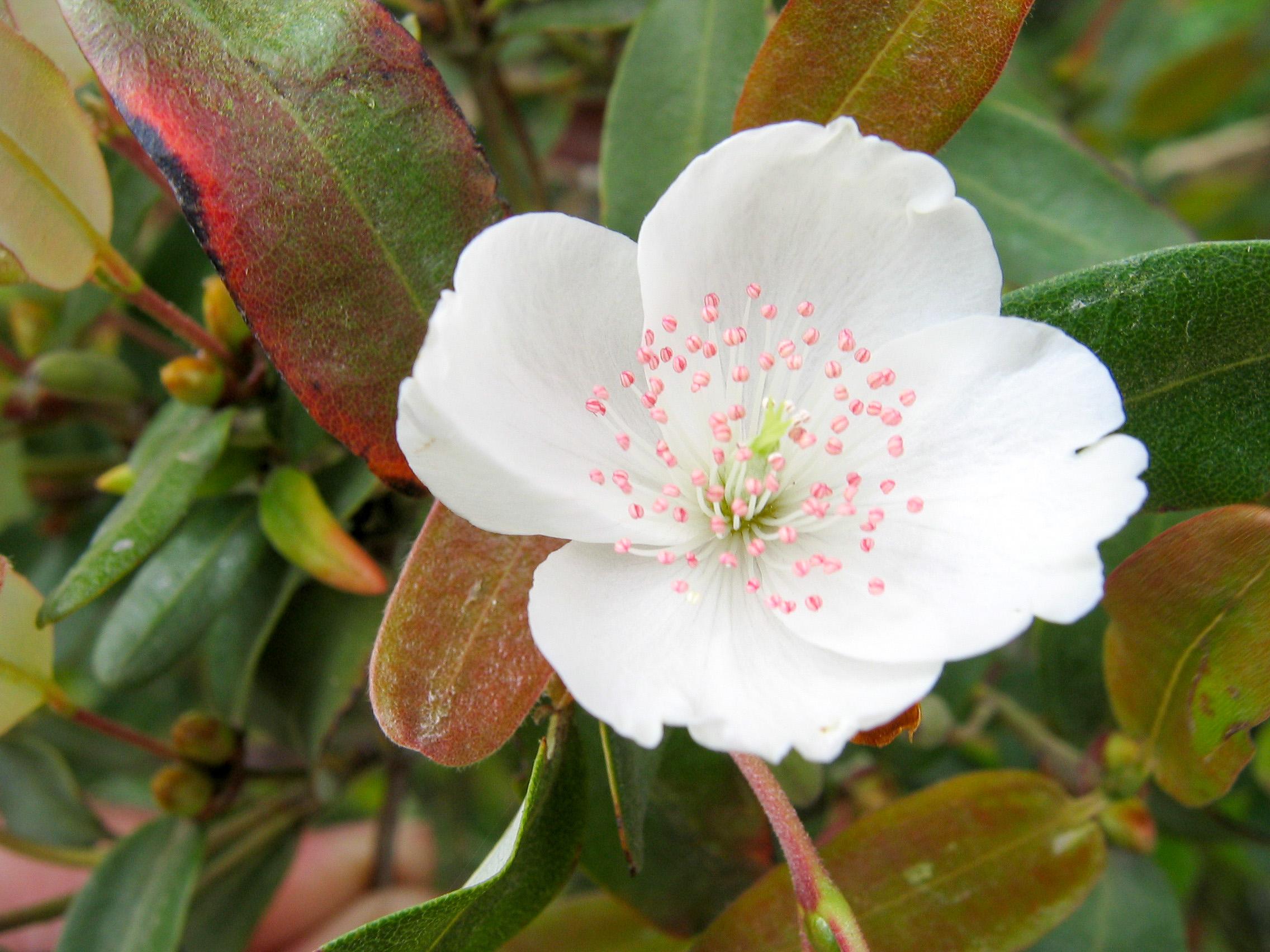 leatherwood flower